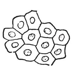 Epithelium vintage vector