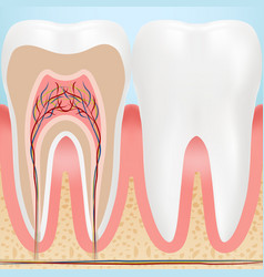 anatomy of healthy teeth isolated on a background vector image