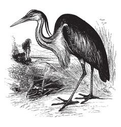 Gray heron vintage vector