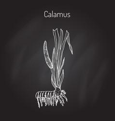 Leaves and root of acorus calamus vector