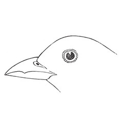 The dentirostral bill of a tanager vintage vector