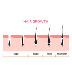 Hair growth cycle skin follicle anatomy anagen vector