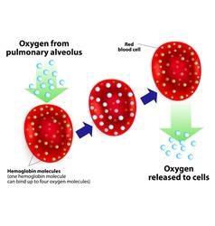 Hemoglobin molecules vector image