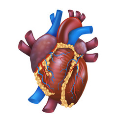 realistic human healthy heart vector image