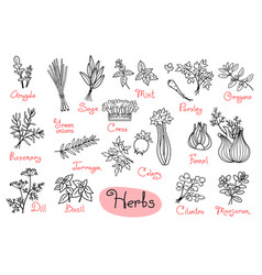 set drawings of herbs used in cooking for design vector image