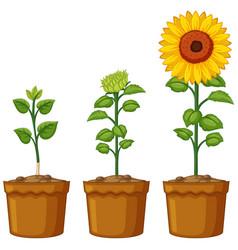 three pots of sunflower plants vector image