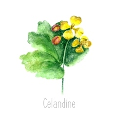 Watercolor celandine herb vector