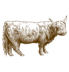 Engraving of highland cattle cow vector