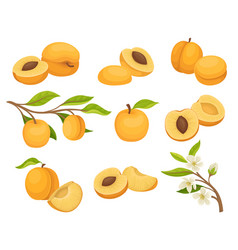 Flat set of apricot icons juicy and ripe vector