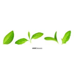 realistic fresh mint tea green leaves on white vector image