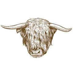 Engraving of highland cattle head vector