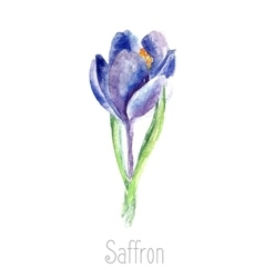 Watercolor saffron herb vector image