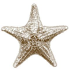 Engraving drawing of hippasteria sea star vector