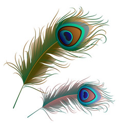 two peacock feathers isolated on white background vector image