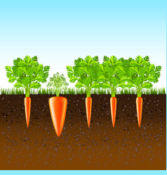 Growing carrots in the ground background vector