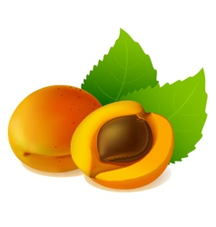 Apricot with leaves vector image vector image