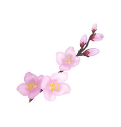 Branch sakura or cherry blooming flowers vector