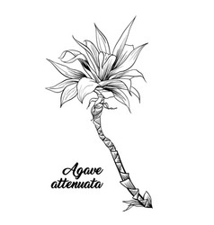 palm leaves agave attenuata hand drawn engraving vector image