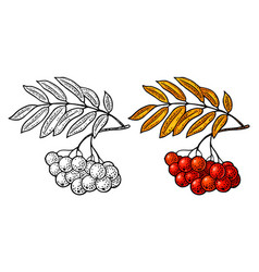 Rowan branch with leaf and berry black vector