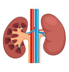 kidney renal flat realistic icon human vector image