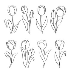 outline hand drawn tulips vector image