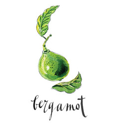 Watercolor bergamot kaffir lime vector