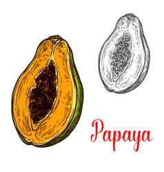 Papaya fruit sketch of exotic tropical berry vector