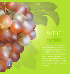 Pink grapes bunch with dew drops vector