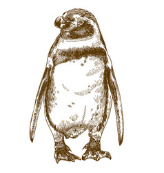 engraving drawing of humboldt penguin vector image
