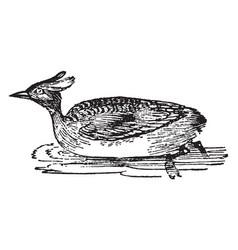 horned grebe vintage vector image