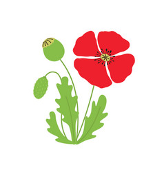 poppy flower on white isolated vector image