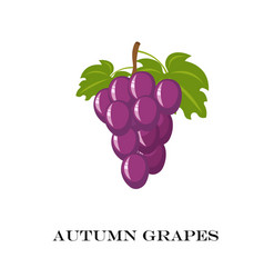 autumn purple grapes white vector image