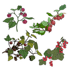 red currant black currunt raspberry gooseberry vector image vector image