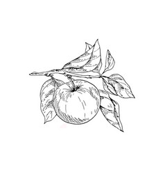 contoured apple on a branch with leaves vector image vector image