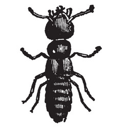 imago of staphylinus olens vintage vector image