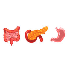 large and small intestine pancreas stomach vector image