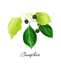 Camphor laurel branch cinnamomum camphora vector