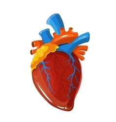 Human heart anatomy medical vector
