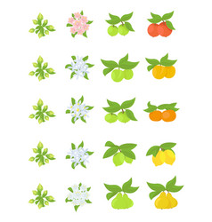 Fruits growth stages apple peach and lemon vector
