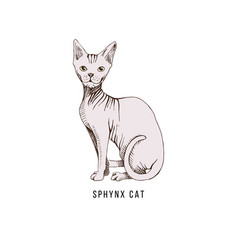 cat of breed sphynx vector image