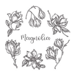 magnolia flowers drawing ink hand drawn set floral vector image