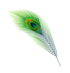 Peacock feather green plume peafowl bird tail vector