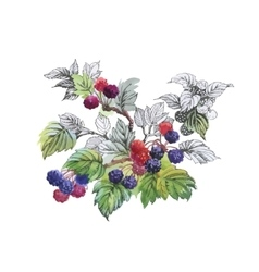 Watercolor blackberry on white background vector