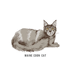 Hand drawn maine coon cat vector