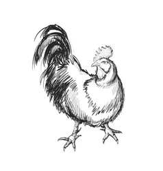 rooster hand drawing vector image