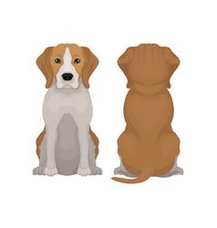 Flat of sitting beagle dog vector