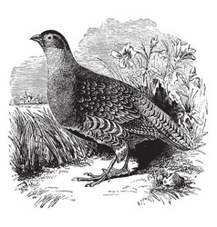 Common partridge of europe vintage vector