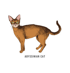 Hand drawn abyssinian cat vector