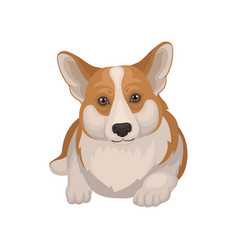 Portrait of welsh corgi lying on floor front view vector
