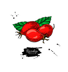 Rosehip drawing isolated berry sketch on vector